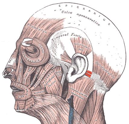 Задняя ушная мышца