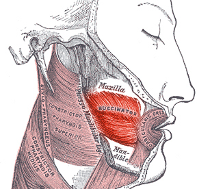 Щёчная мышцы анатомия