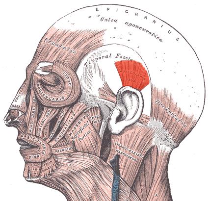 Особенности мимических мышц