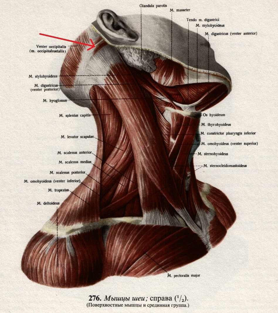 Мимические ушные мышцы