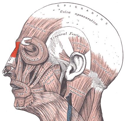 Мимические мышцы - мышца гордецов