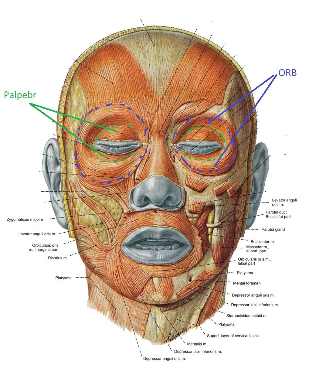 Глазная мышца и её части