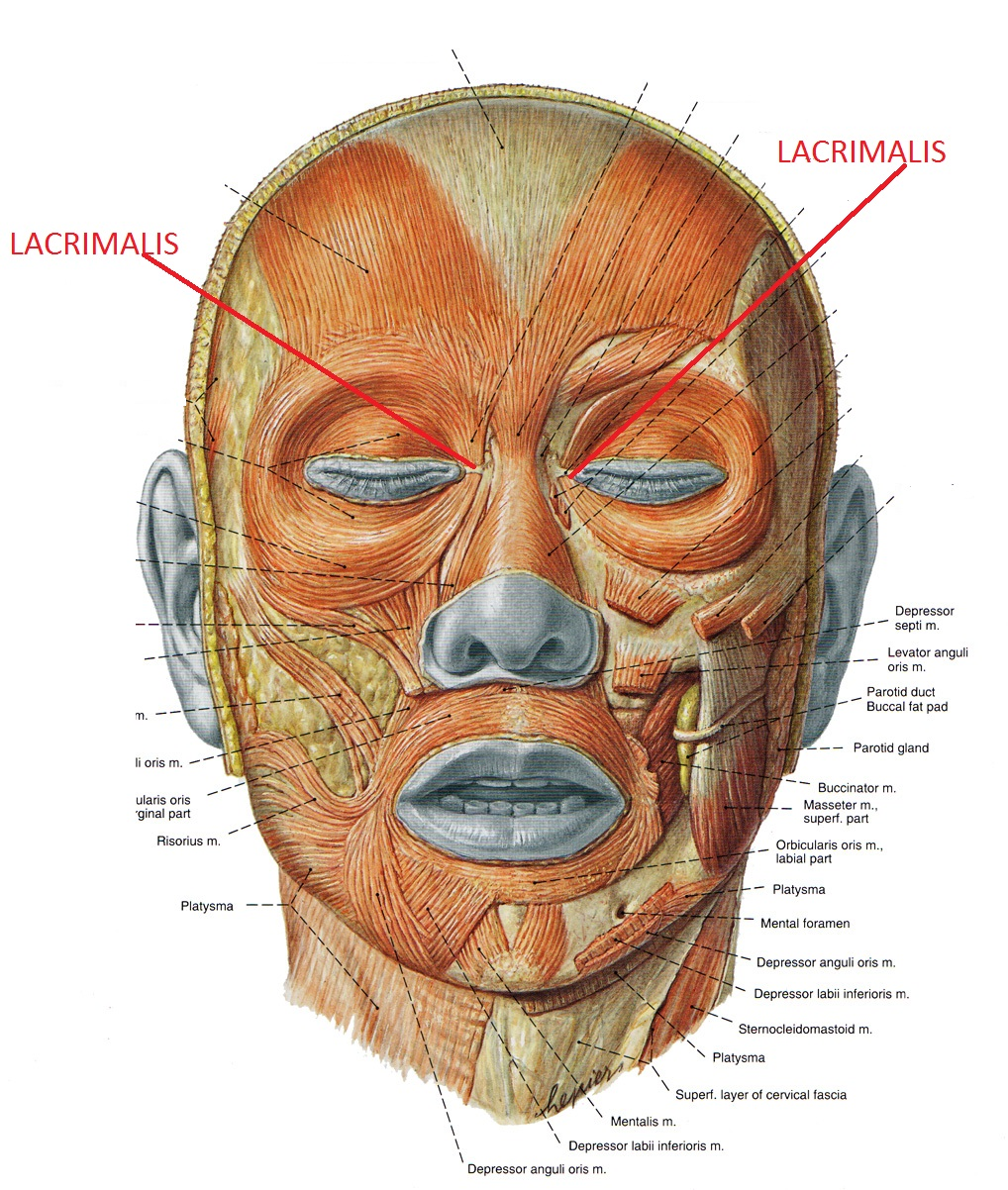Мимические мышцы анатомия