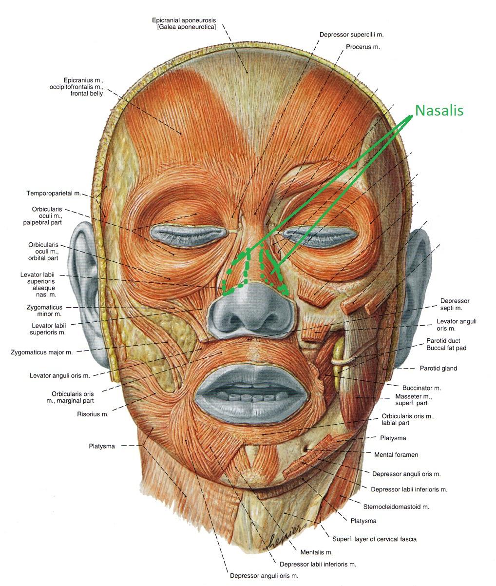 Носовая мышца анатомия