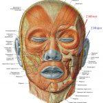 Анатомия мимических мышц