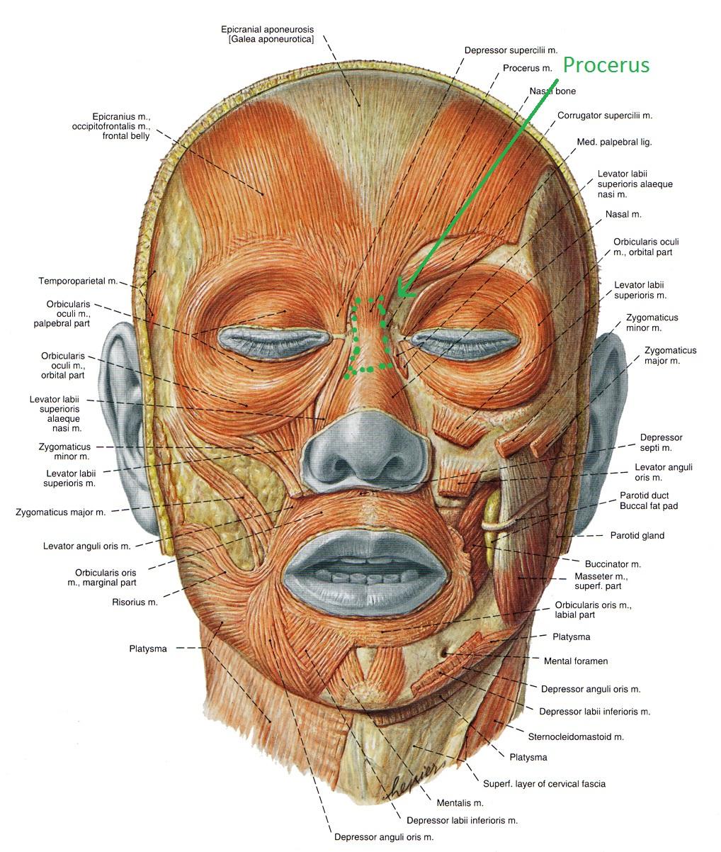 Мимические мышцы головы - мышца гордецов