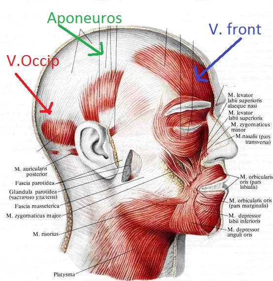 мимические мышцы - надчерепная мышца