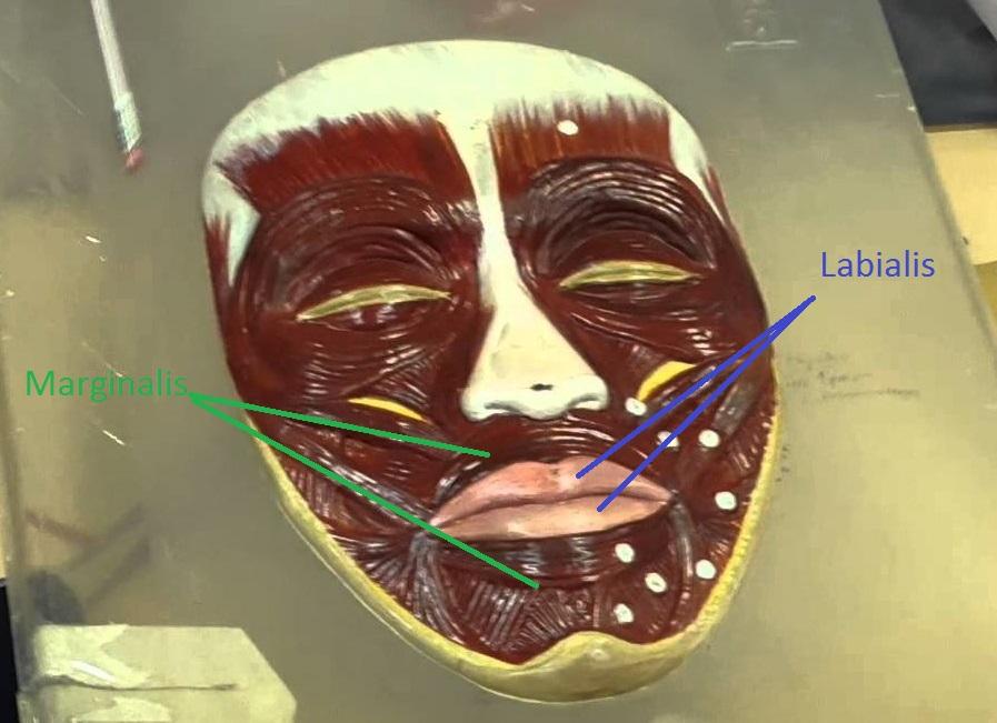 Круговая мышца рта и две её части