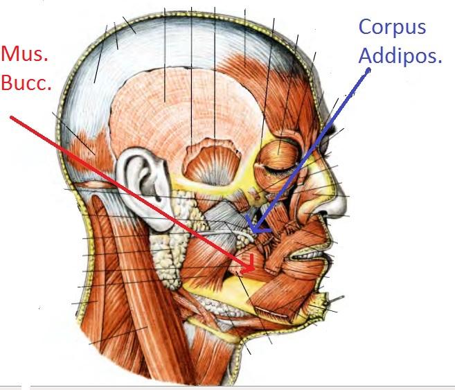 Щёчная мышца и жировое тело щеки