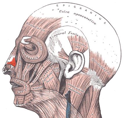 Мимические мышцы лица - носовая мышца