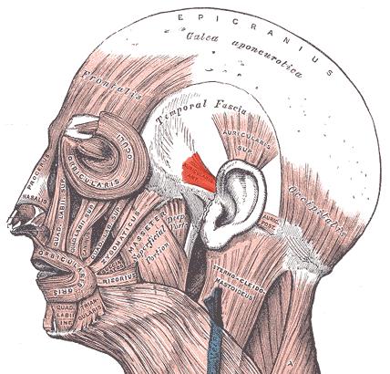 Передняя ушная мышца