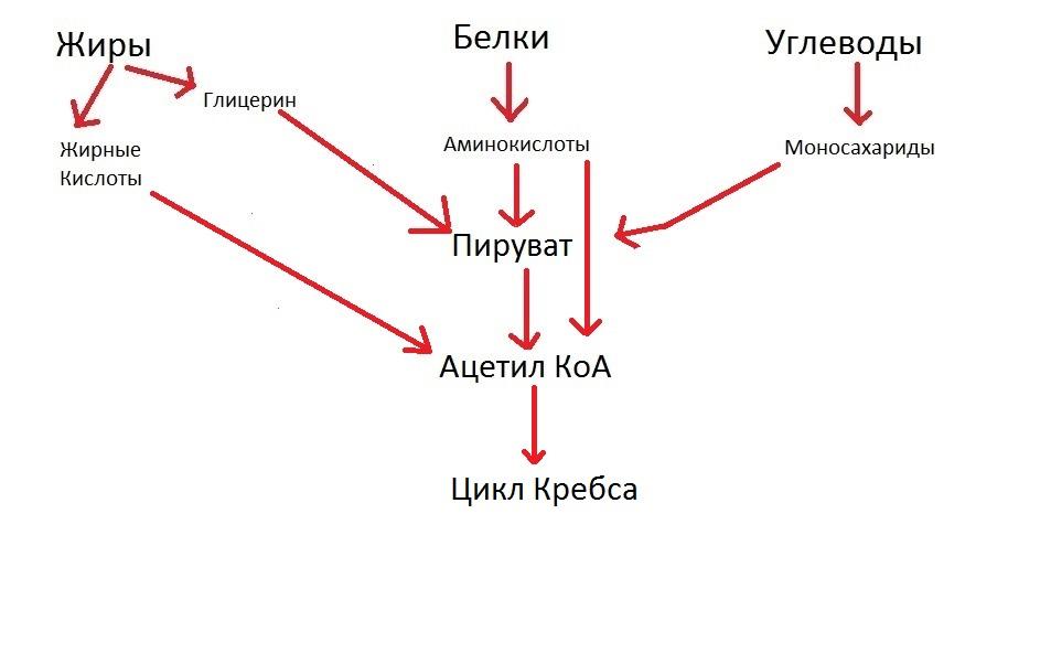 Цикл Кребса доступно