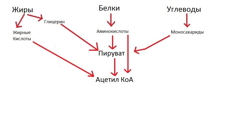 Цикл Кребса для чайников