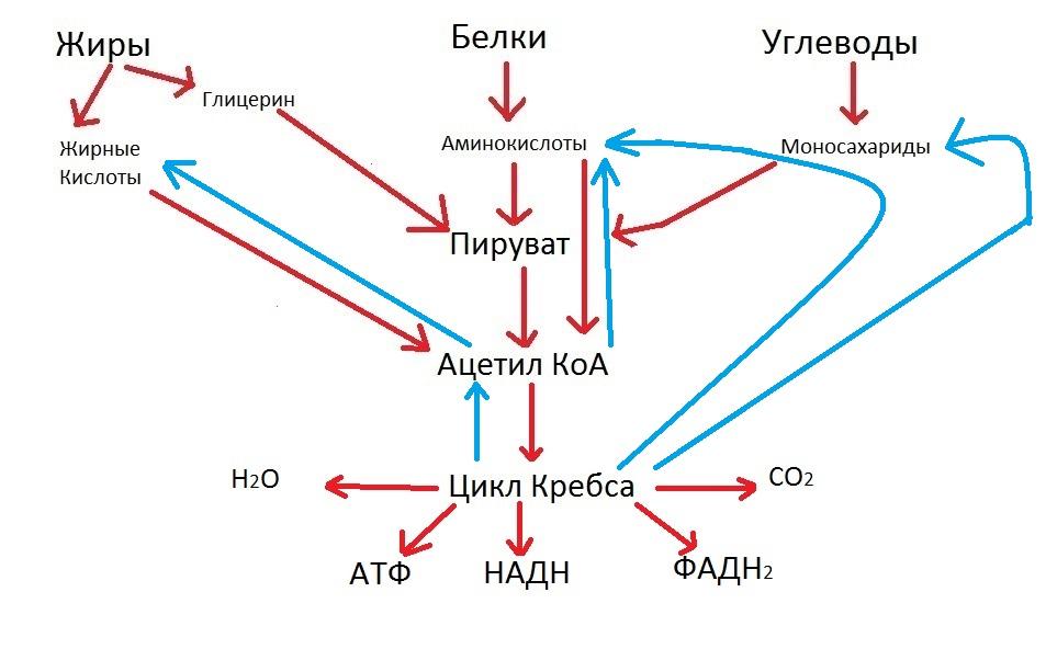 Цикл Кребса кратко и просто