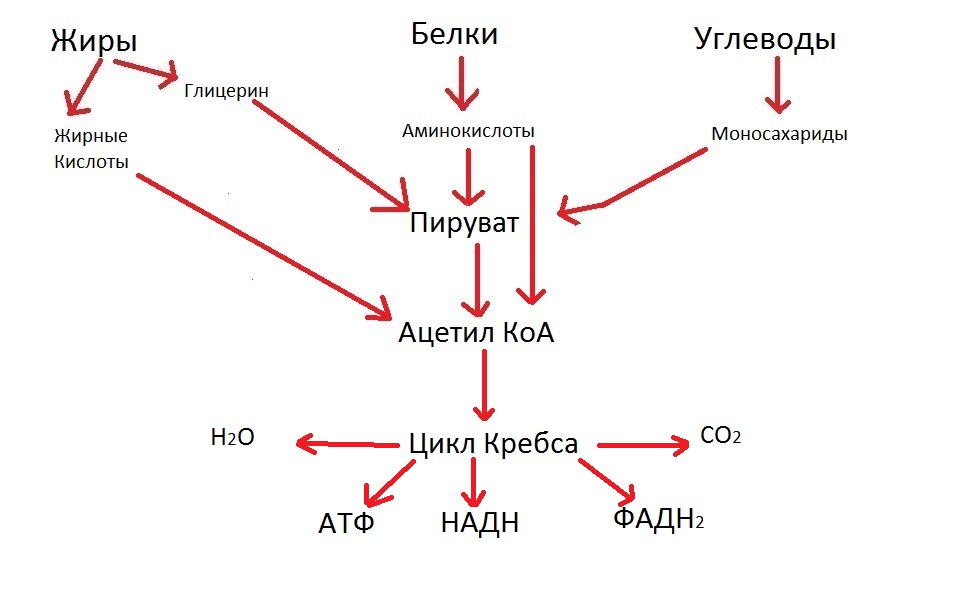 Цикл Кребса кратко