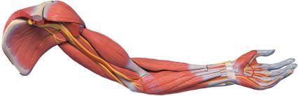 Мышцы предплечья. Передняя группа, поверхностный слой