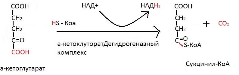 Цикл Кребса формулы