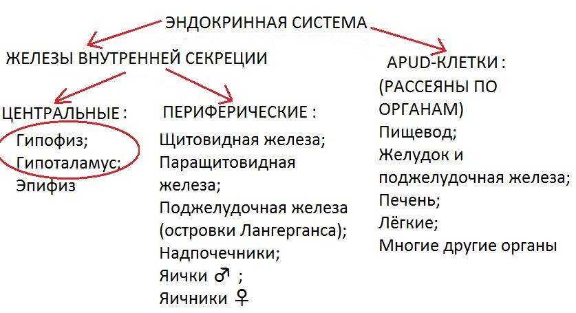 Физиология эндокринной системы