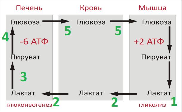Как выучить цикл Кори в биохимии