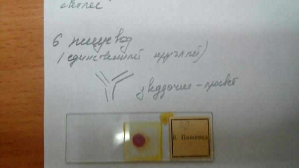 Фото препаратов по гистологии