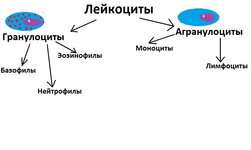 Классификация и функции лейкоцитов