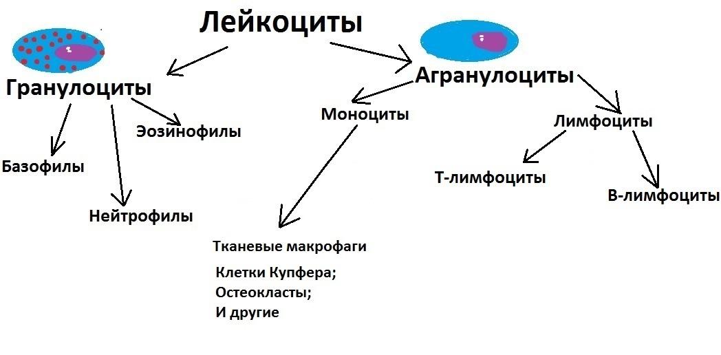 Лейкоциты и лимфоциты гистология