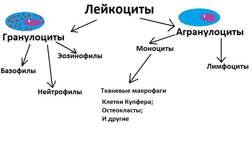 Классификация лейкоцитов: моноциты