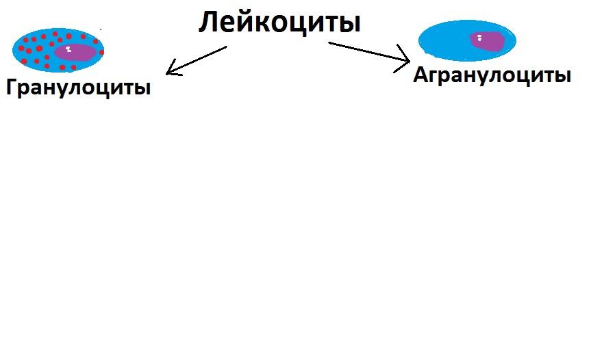 Классификация лейкоцитов на гистология
