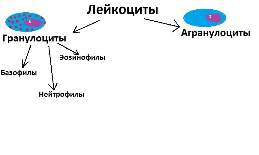 Классификация лейкоцитов: гранулоциты