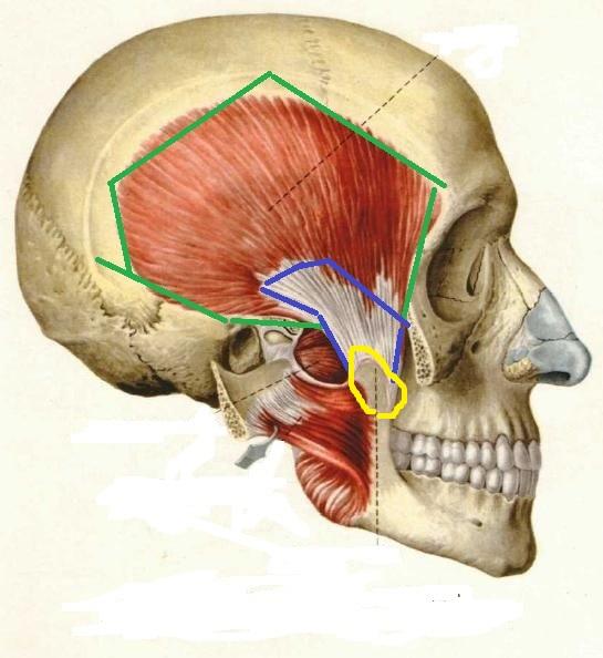 Как выучить анатомию жевательных мышц