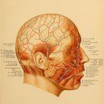 Топографическая анатомия головы, часть 1