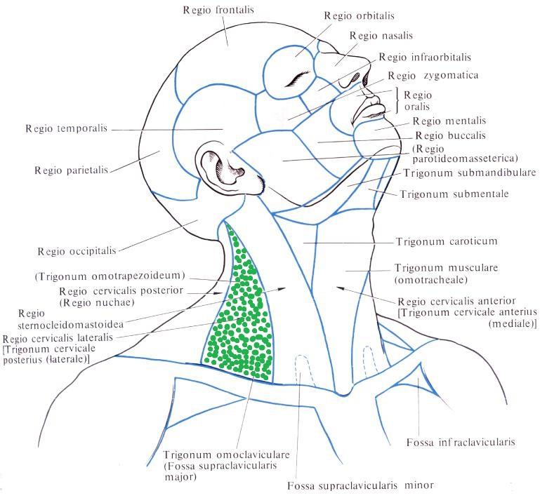 мышцы спины и шеи анатомия