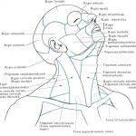 Топографическая анатомия шеи
