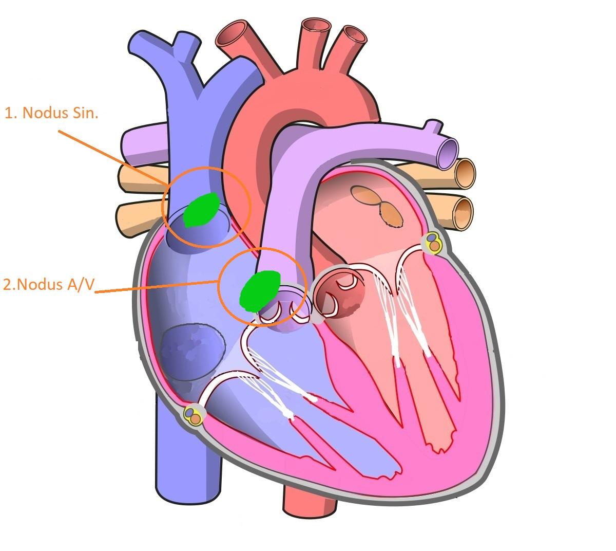 Анатомия проводящей системы сердца