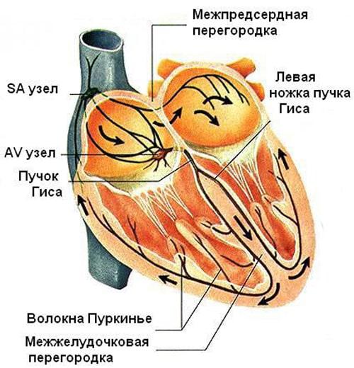 Анатомия сердца проводящая система
