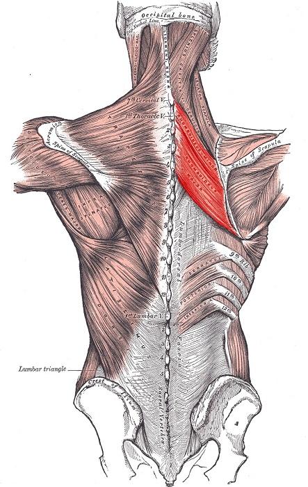 мышцы спины анатомия функции