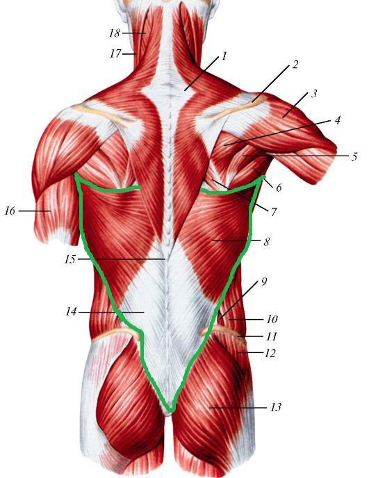 широчайшая мышца спины анатомия
