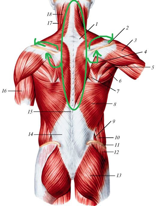 мышцы спины анатомия атлас