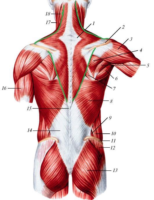 мышцы спины анатомия таблица