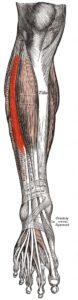 anatomia_dlinnogo_razgibatelya_palcev1