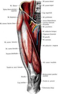 anatomia_dlinnoj_prividyashej_myshcy