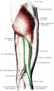 anatomia_dvuglavoj_myshcy_bedra