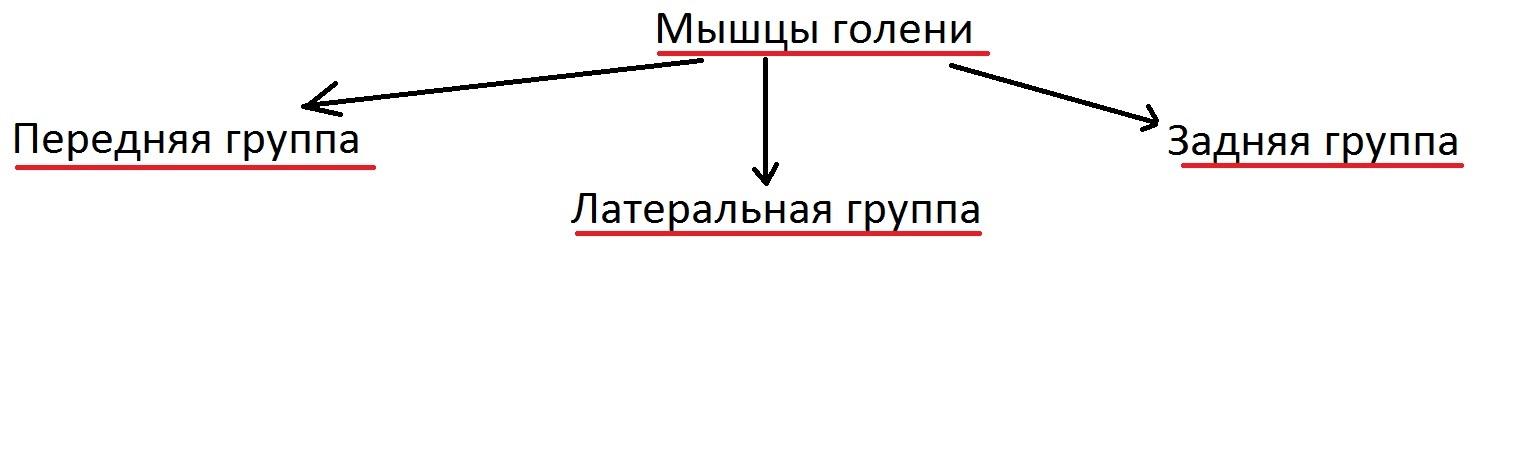 anatomia_goleni