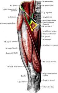 anatomia_grebenchatoj_myshcy
