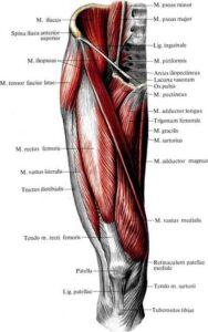 anatomia_grebenchatoj_myshcy1