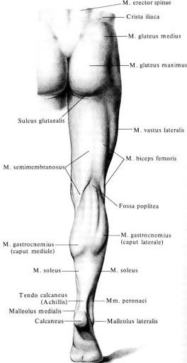 anatomia_myshc_bedra