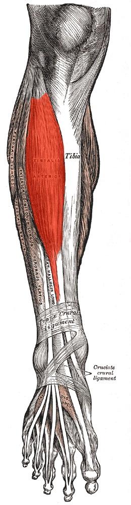 anatomia_perednej_bolshebercovoj_myshcy1