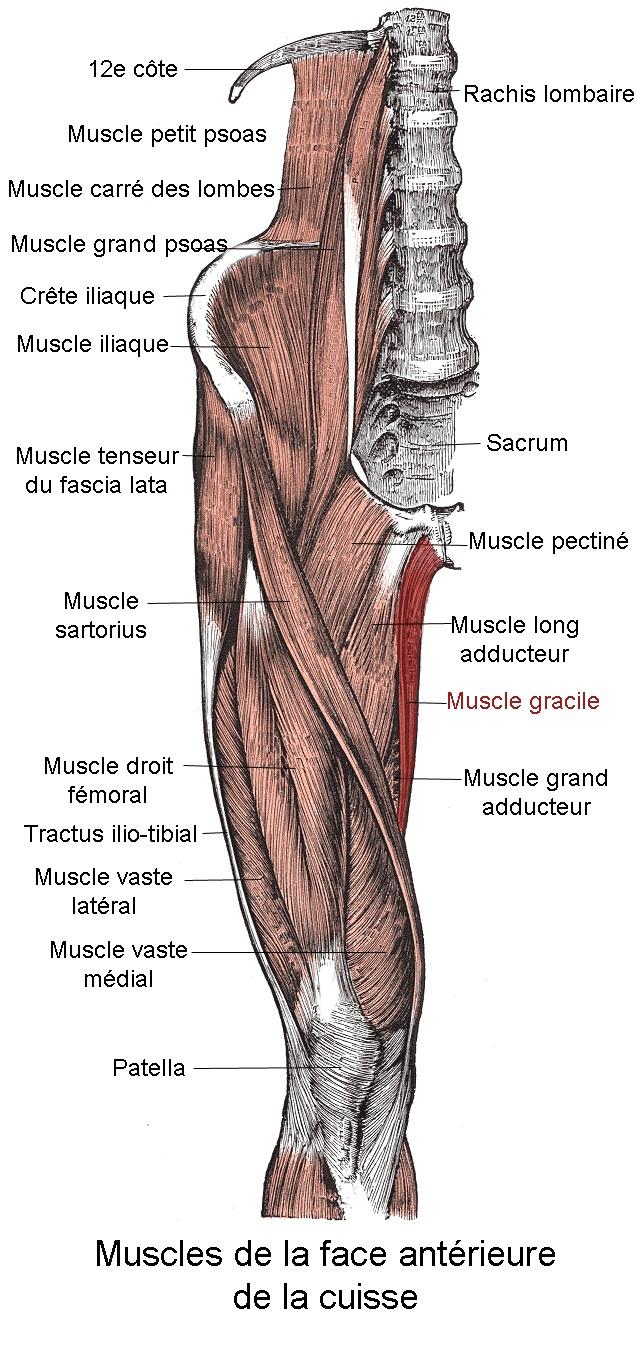 anatomia_tonkoj_myshcy_bedra1