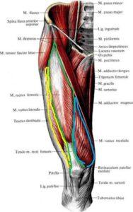 chetyrehglavaya_myshca_bedra_anatomia