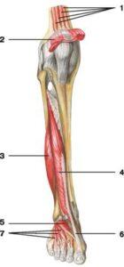dlinnyj_razgibatel_bolshogo_palca_anatomia